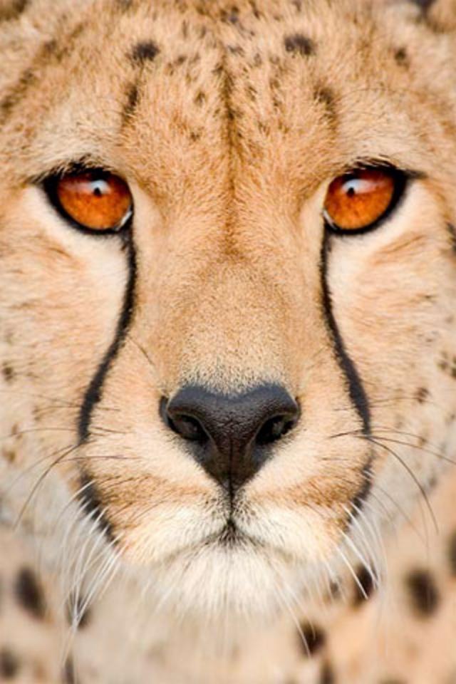 Cheetah iphone wallpaper hd download cheetah download wallpaper iphone 44s 640x960 voltagebd Choice Image