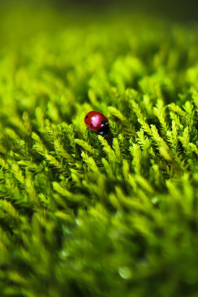 Ladybug on Grass Wallpaper