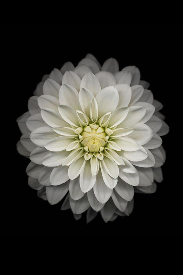 iPhone 6 White Flower Wallpaper