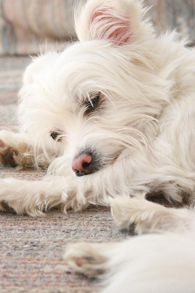 Sleeping Dog Wallpaper