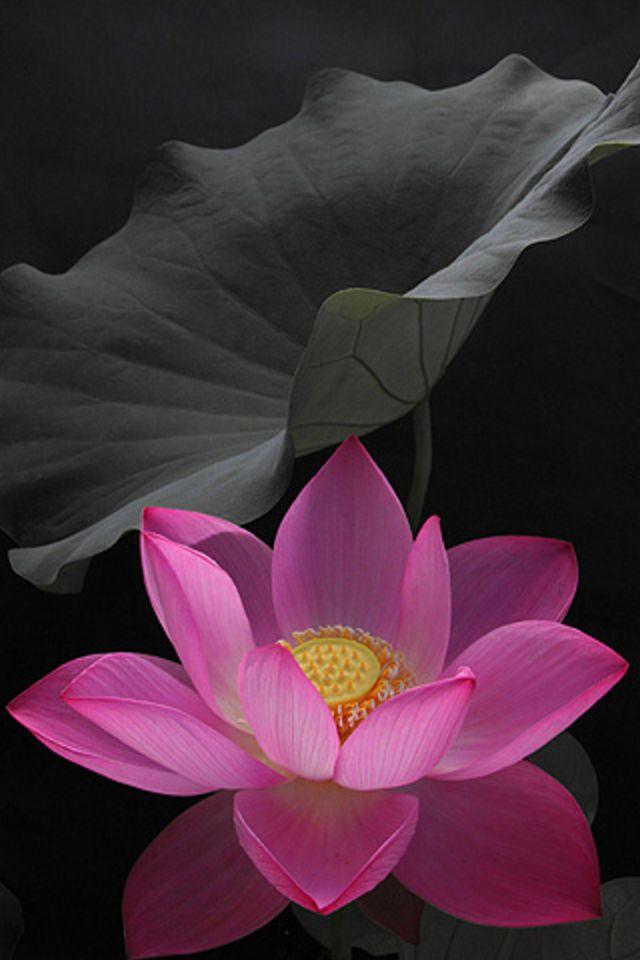 Pink flower iphone wallpaper hd download pink flower download wallpaper iphone 44s 640x960 mightylinksfo