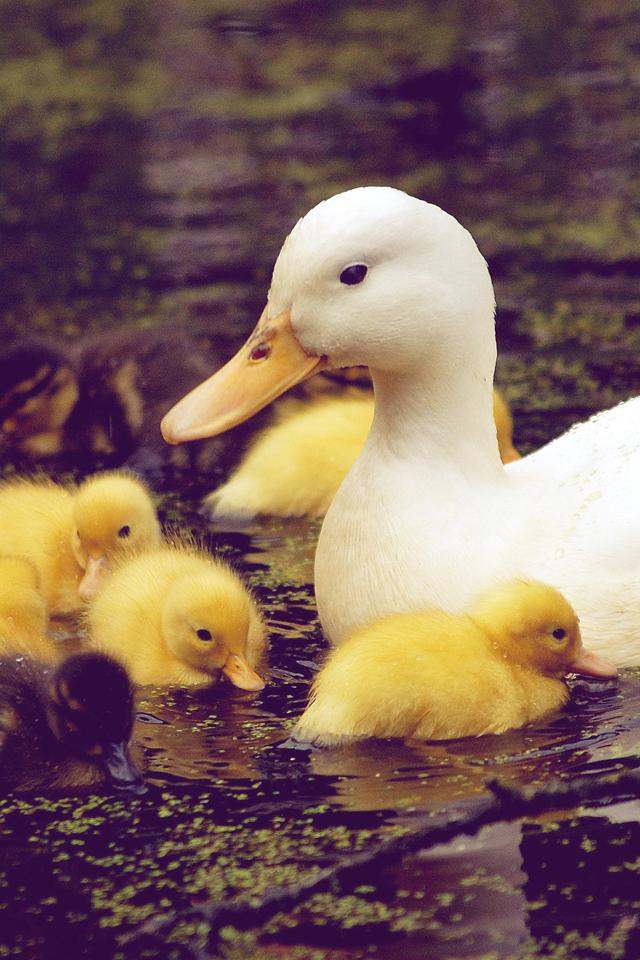 Baby Duck Wallpaper