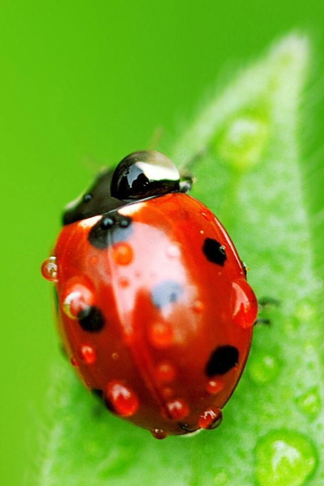Ladybug Macro Wallpaper