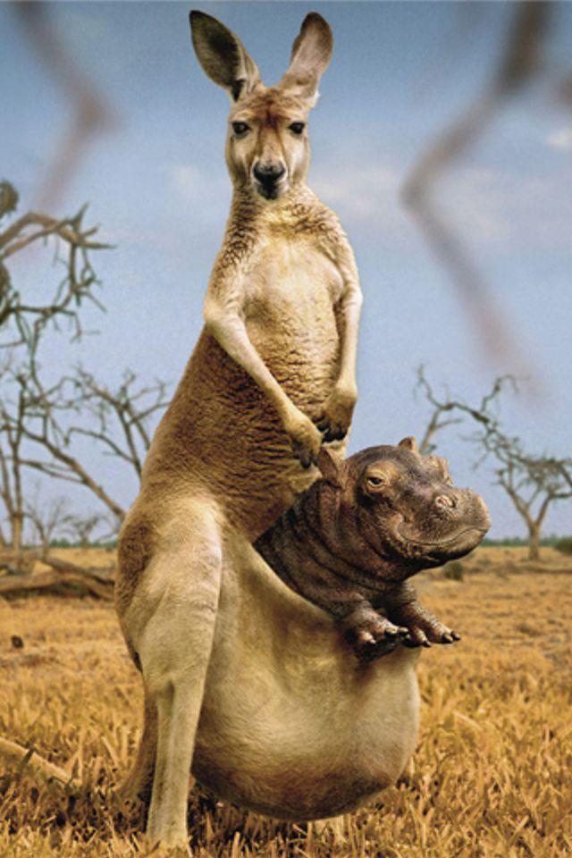 Kangaroo Hippo Wallpaper