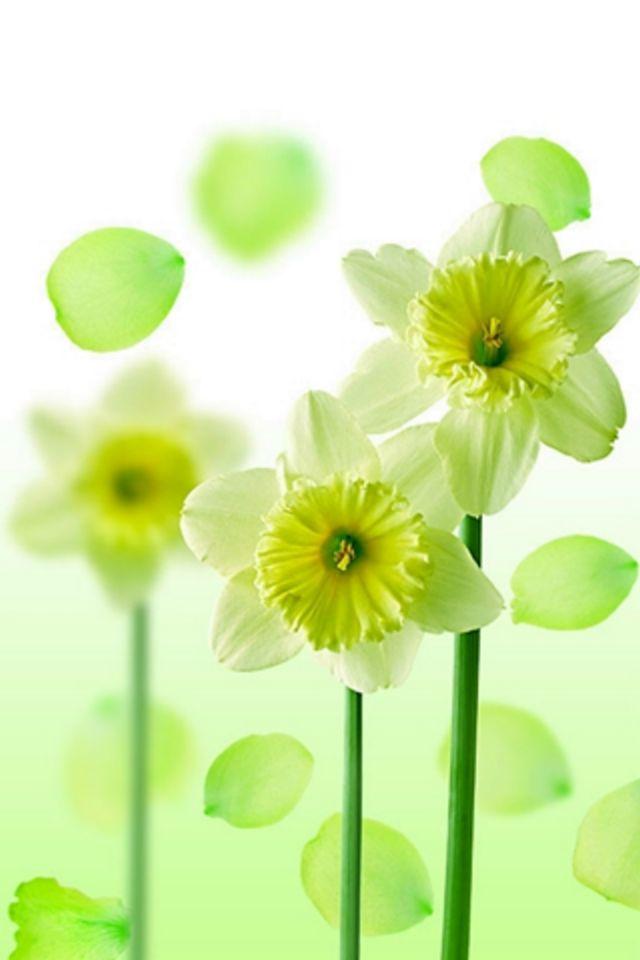 Narcis Flower Wallpaper