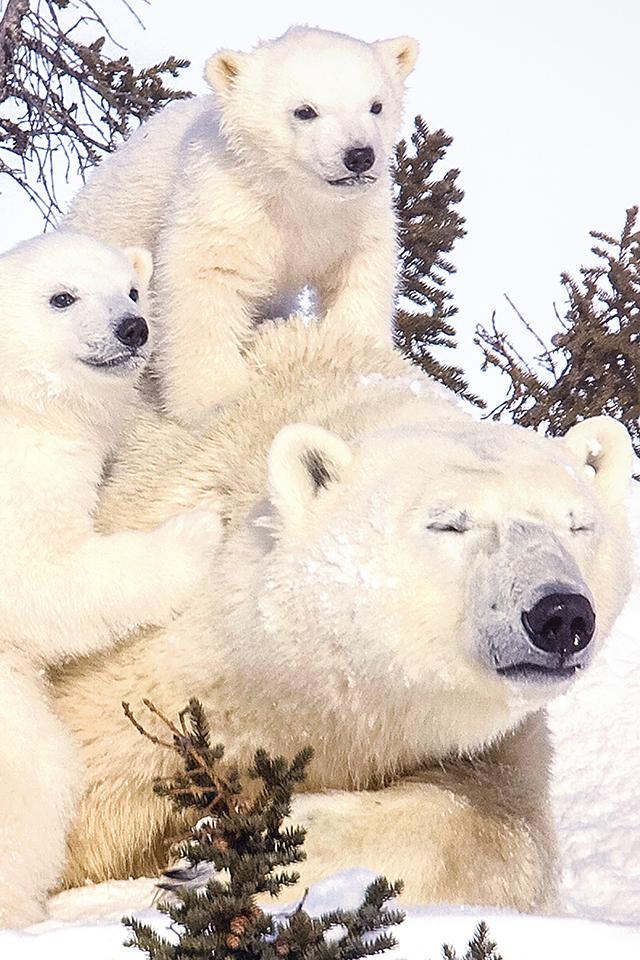 Polar Bear Family Iphone Wallpaper Hd