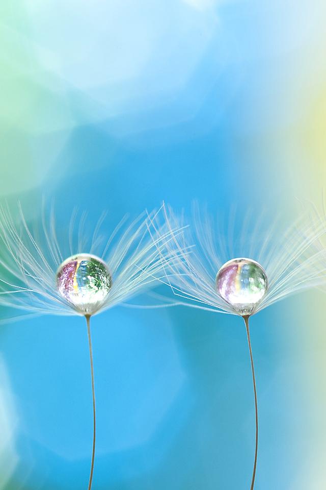 Droplet on Dandelion Wallpaper