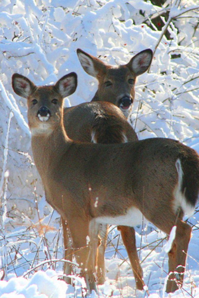 Two Young Deer Wallpaper