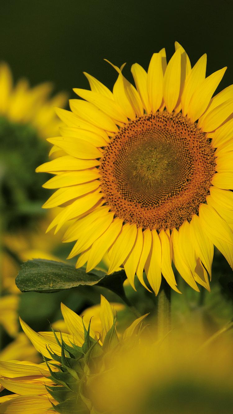Sunflower iPhone Wallpaper HD