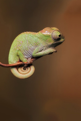 Little Chameleon