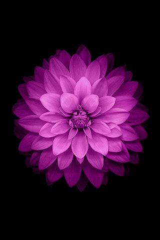 iPhone 6 Purple Flower