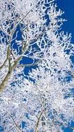 Snowed Branches