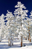 Frozen Pine Tr...