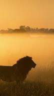 Nomadic Lion