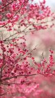 Pink Peach