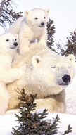 Polar Bear Fam...