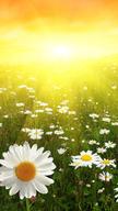 Daisies in Sun...