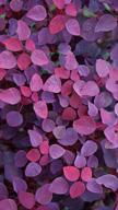 Violet Leafs
